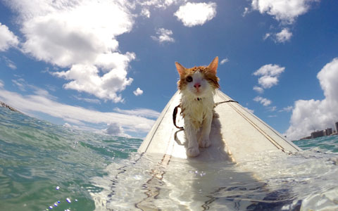 kuli-cat-surfing-b_3541361k