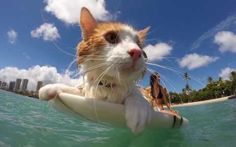 kuli-cat-surfing-b_3541367k