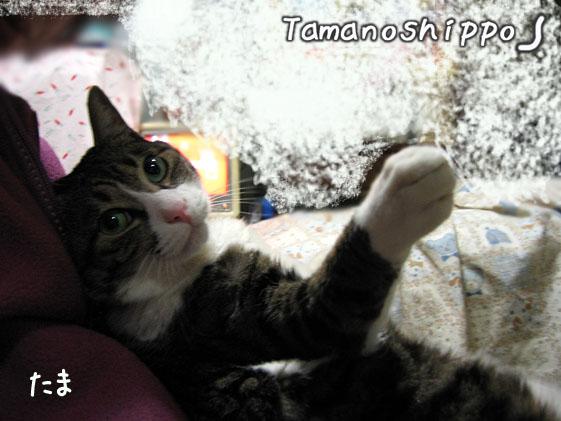 抱っこされる猫(たま)