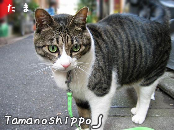 散歩中の猫(たま)