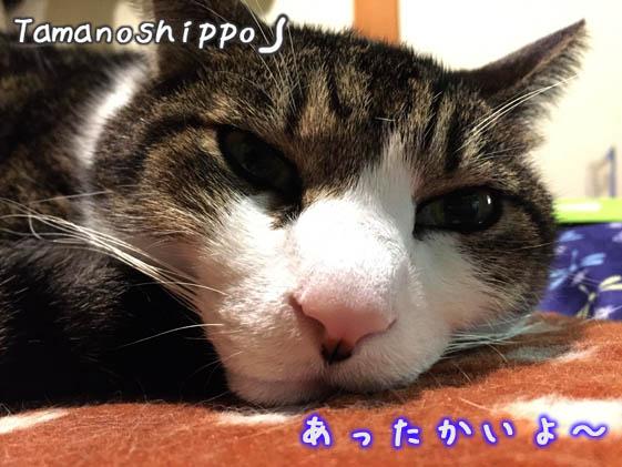 不満げに寝てる猫(ちび)湯たんぽの上
