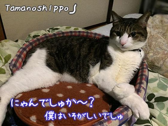 ダレている猫(ちび)猫ベットの上で寛いでいるだけ?