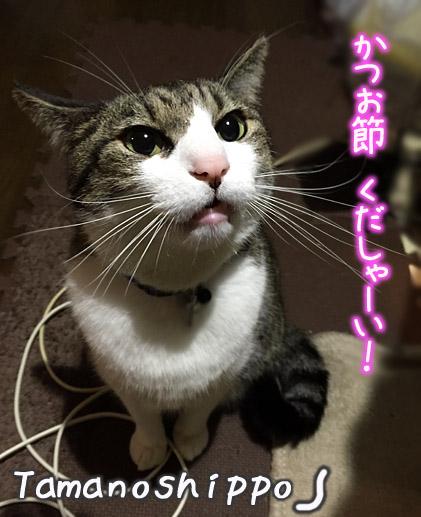 かつお節を欲しがる猫(ちび)