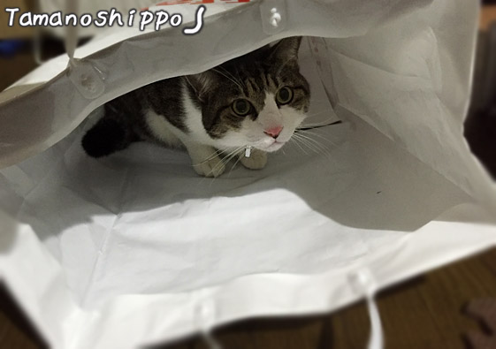 紙袋に入る猫(ちび)