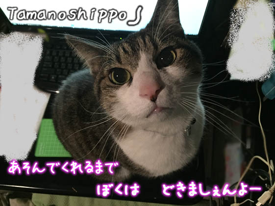 机の上に乗ってイタズラする猫(ちび)