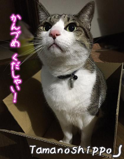 缶詰めをおねだりする猫(ちび 箱の中で待つ)