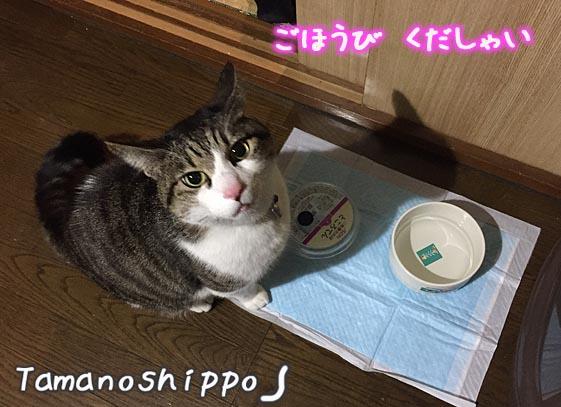 お皿の前でご褒美(パウチ)を待っている猫(ちび)