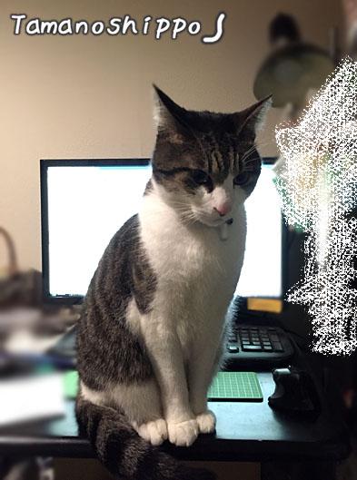 パソコンの前に居座る猫(ちび)