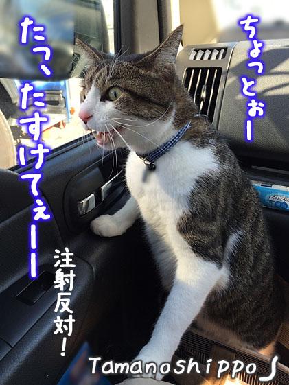 車の中で文句を言う猫(ちび)