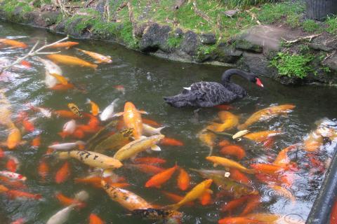 平等院の鯉