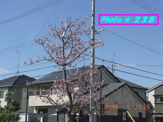 河津桜?①
