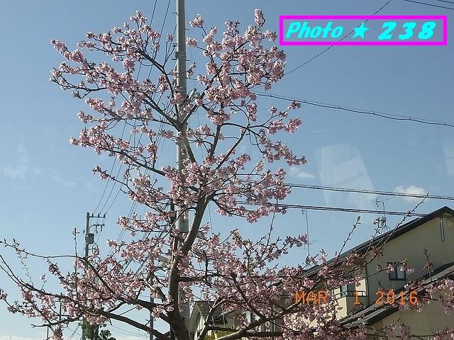 河津桜?②