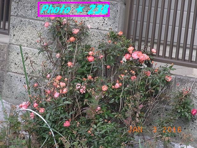 道辺のバラ