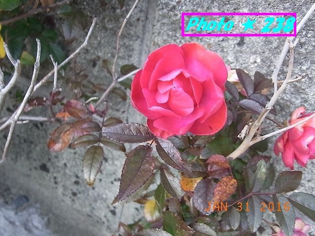 真っ赤な薔薇