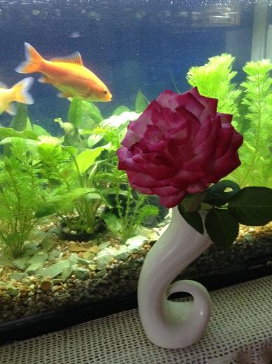 大きくなった金魚