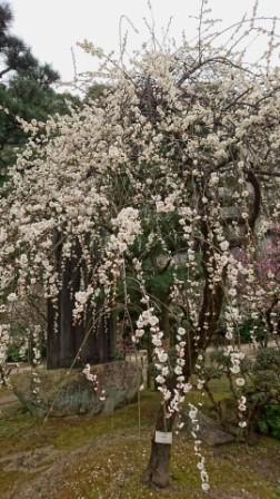DSC_004216縮景園桃