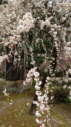 DSC_004316縮景園桃
