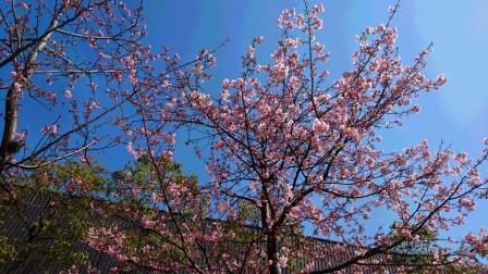 DSC_00702016・3・3河津桜