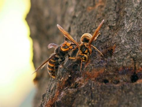 スズメバチ争い151101
