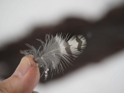 アオゲラ腹羽毛160215