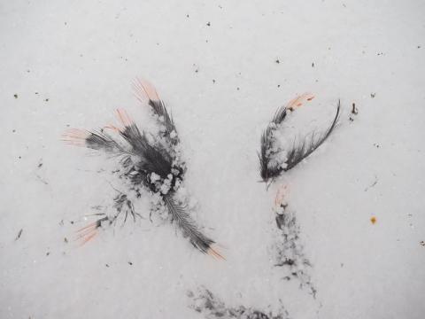 アオゲラ頭羽毛160215