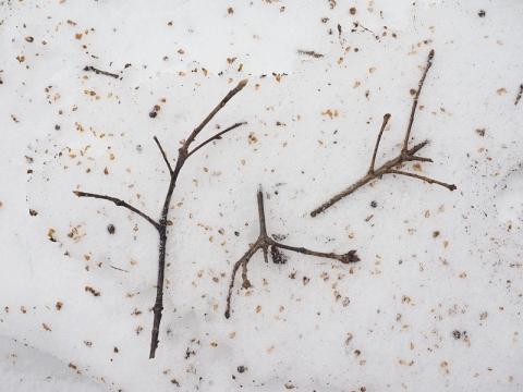 ムササビ食痕ミズナラ冬芽