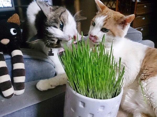 猫草ど~ぞ