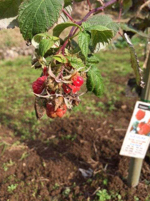 1221rasberry.jpg
