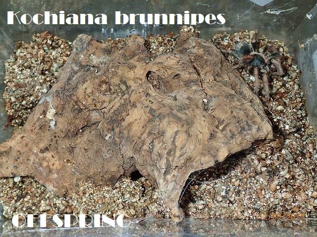 Kochiana brunnipes2015jp001