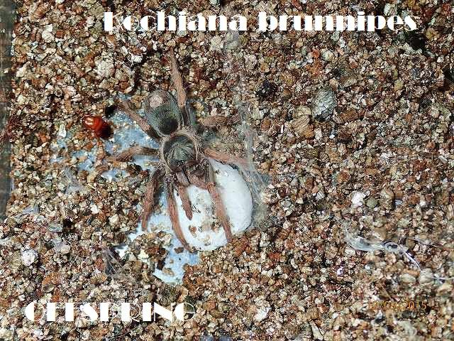 Kochiana brunnipes2015jp002
