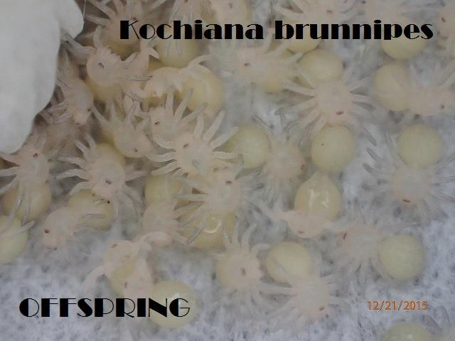 Kochiana brunnipes2015jp004