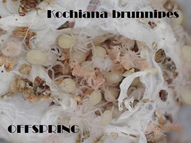 Kochiana brunnipes2015jp005