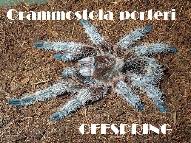 Grammostola porteri2015wc02