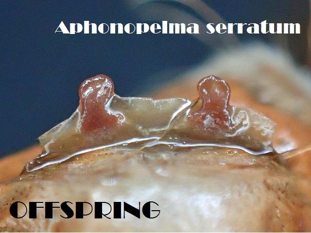 Aphonopelma serratum2014eu00