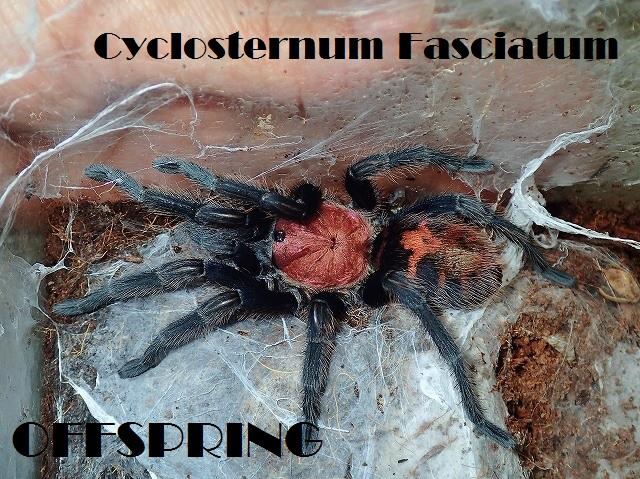 Cyclosternum Fasciatum2012wc