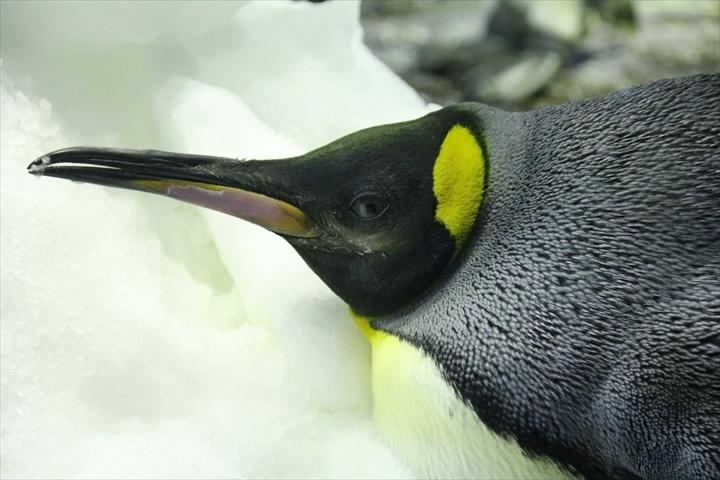 オウサマペンギンアップ