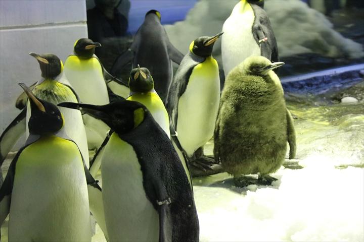 オウサマペンギン雛