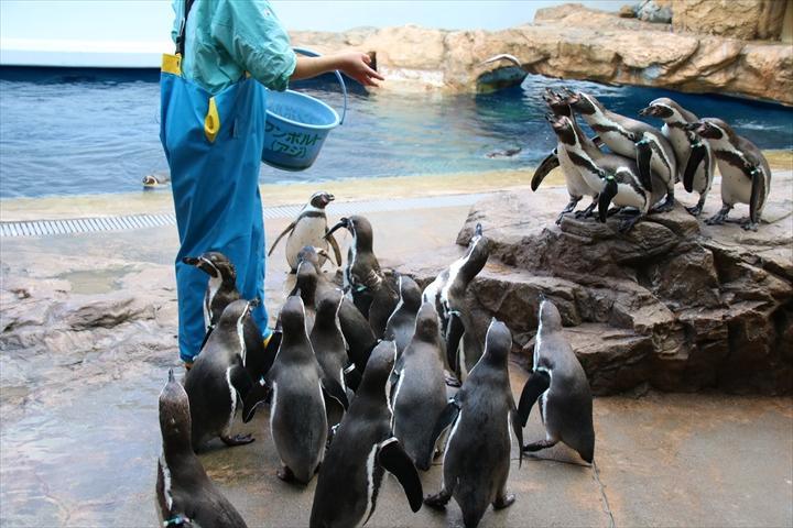 フンボルトペンギン餌やり