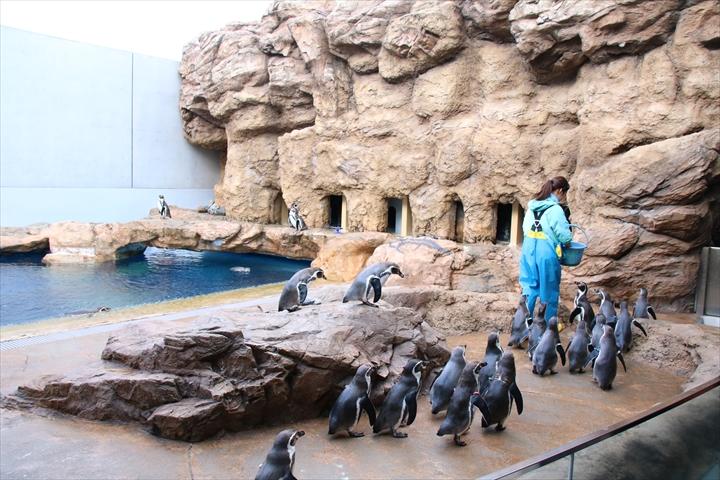 フンボルトペンギン餌やり1