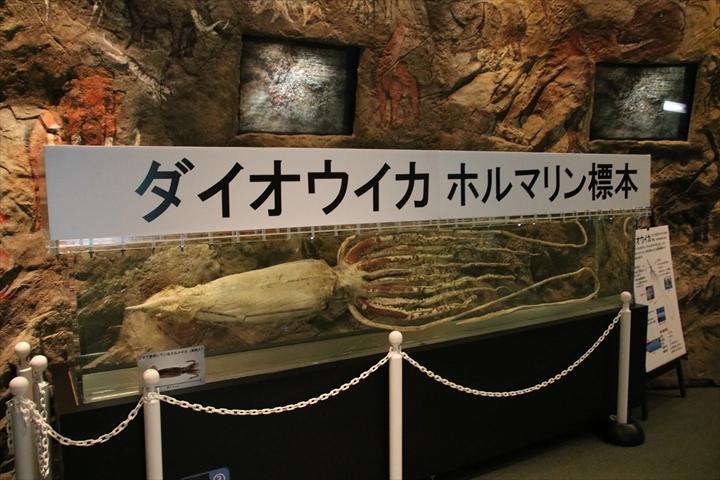 ダイオウイカの標本