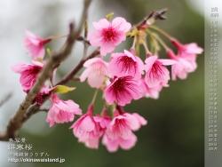 デスクトップカレンダー,沖縄,緋寒桜,寒緋桜,壁紙