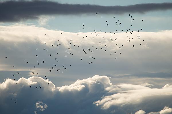 飛翔するハトたち