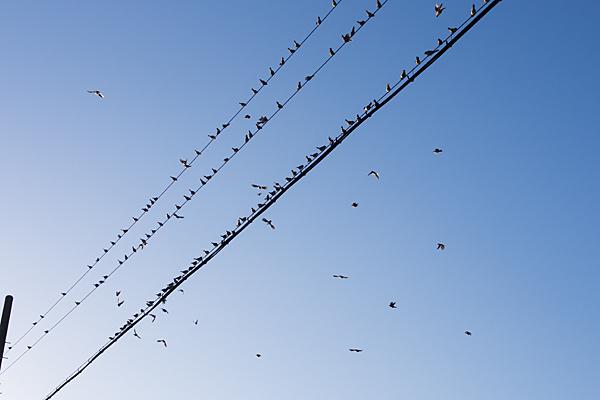 電線のハトたち