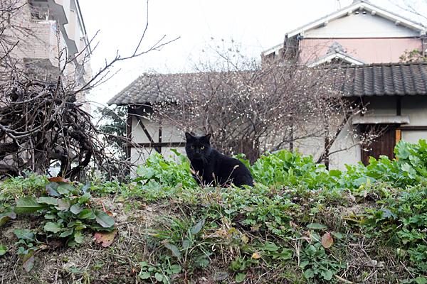 梅と畑とネコ