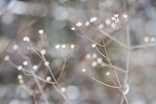 枯れ花の冬姿