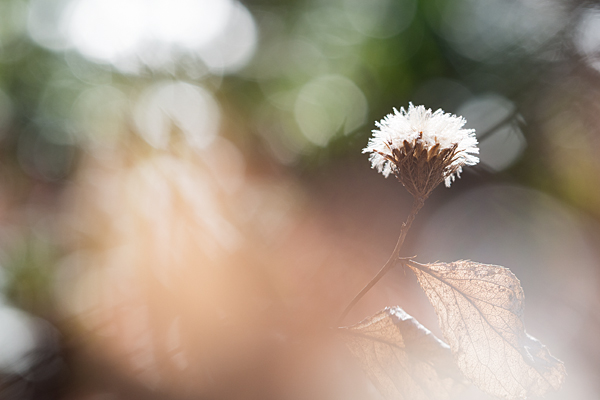 枯れ葉と綿毛