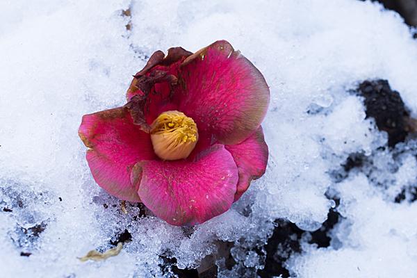 雪の上の椿