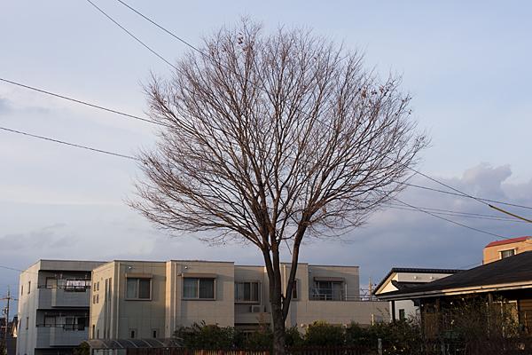 桜の木の冬姿