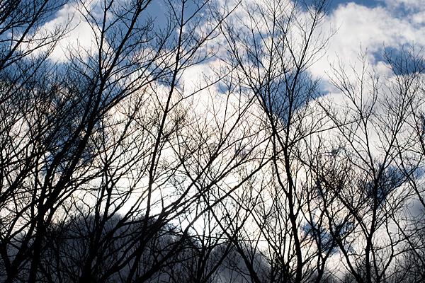 冬の桜の木