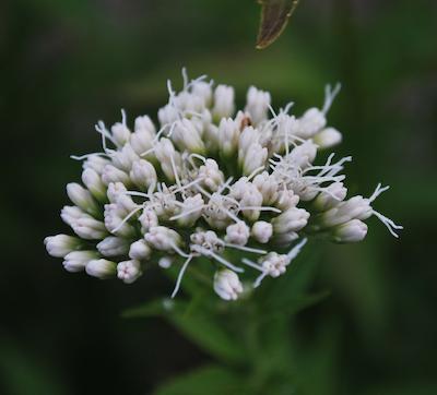フジバカマ 白花